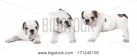 Purebred six weeks old English Bulldog puppies isolated on white background