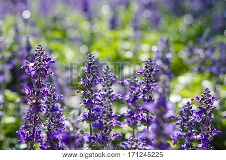 Blooming lavender flowers in daylight with bright purple bokeh in the background