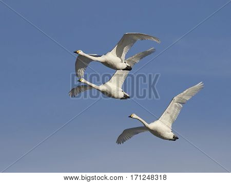 Whooper swans (Cygnus cygnus) in flight with blue skies in the background