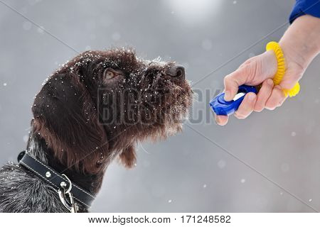 young hunting dog and woman hand with clicker