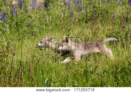 Grey Wolf (Canis lupus) Pups Run Left Through Grass - captive animals