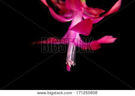 Flower Decembrist. isolated black background. Schlumberger purple