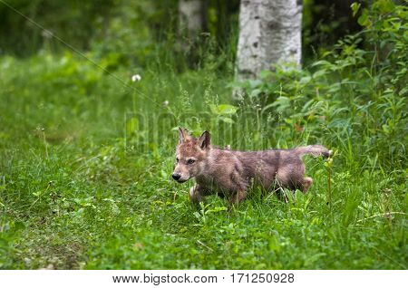 Grey Wolf (Canis lupus) Pup Runs Out of Woods - captive animal