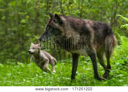 Grey Wolf (Canis lupus) and Pup Go Left - captive animals
