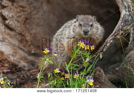 Young Woodchuck (Marmota monax) Looks Out From Behind Flowers - captive animal