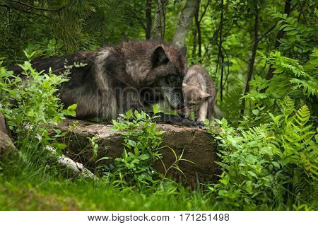 Grey Wolf (Canis lupus) and Pup On Rock - captive animals