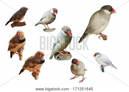 Zebra-finch (lat. Taeniopygia guttata) and Sharp-tailed grass finch (lat. Poephila acuticauda). Isolated on a white background