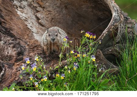 Young Woodchuck (Marmota monax) Glares Out from Log - captive animal