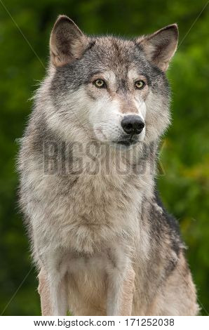 Grey Wolf (Canis lupus) Against Green - captive animal