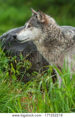 Grey Wolf (Canis lupus) Profile Next to Rock - captive animal
