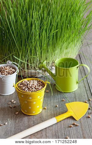 grain and wheat germ in white and yellow buckets, watering can and shovel