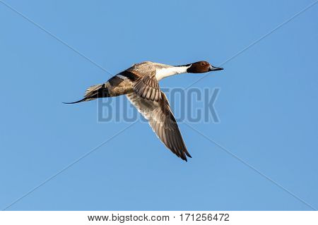 a flying northern pintail Vancouver BC Canada