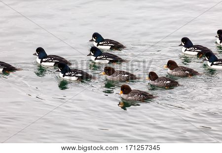 Barrow's Goldeneye - group on coast of Vancouver BC Canada