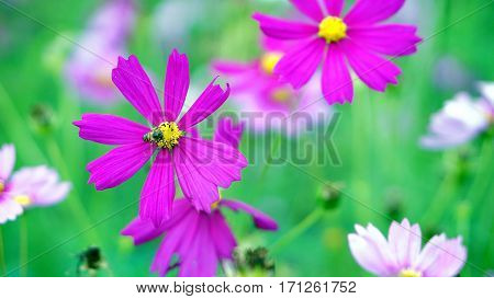 Cosmos flower field. The flowers are produced in a capitulum with a ring of broad ray florets and a center of disc florets.  flower color is very variable between the different species.