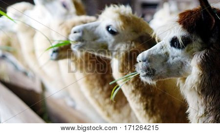 Feed for alpacas at the farm in holiday. Alpacas are kept in herds that graze on the level heights of the Andes of southern Peru, northern Bolivia, Ecuador, and northern Chile at an altitude.