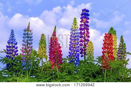 View of multi coloured lupins on a cloudy sky.