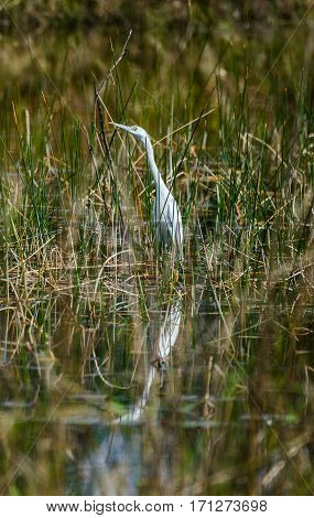 A little blue heron wading in a marshy pond with its reflection in the water