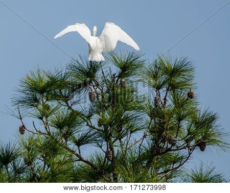 A great white heron spreading its wings on the top of a pine tree