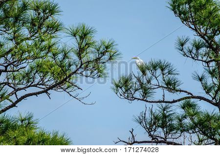 A great white heron perched in a pine tree