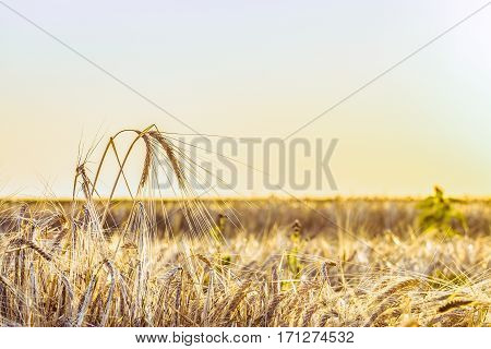Agricultural background with ripe rye spikelets on a bright sunny summer day. Beautiful nature view. Rural scene with limited depth of field.
