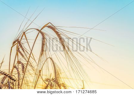 Agricultural background with ripe rye spikelets on a bright sunny summer day. Beautiful nature view. Rural scene with rye ears close up.
