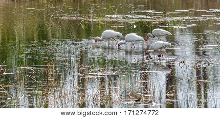 A group of Ibis all feeding in a marshy pond with reflections and rippled water