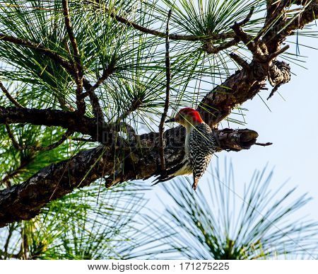 A Red Bellied Woodpecker in a pine tree with green pine needles