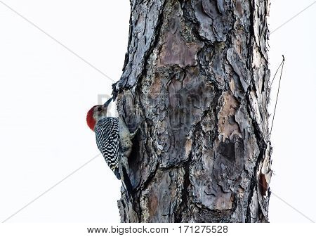 A Red Bellied Woodpecker perched on the side of a tree pecking for food