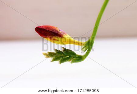 Do not open bud burgundy freesia flower
