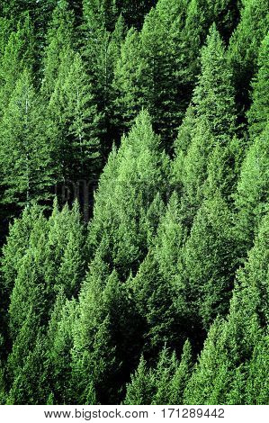 Pine trees in lush green forest forrest wilderness for conservation