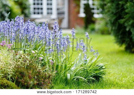 Bluebells in a garden flower bed with garden lawn and house in the background