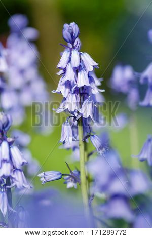 Closeup of bluebell flowers blue bell garden
