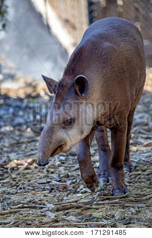 Front view of South American tapir or Tapirus terrestris also known as the Brazilian tapir