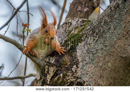 Red cute squirrel is eating nut in the forest