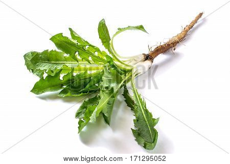 Medicinal plant dandelion (Taraxacum officinale). Dandelion leaves and roots on a white background. It is used for herbal medicine and healthy food