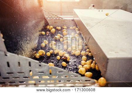 Cleaned potatoes on a conveyor belt, prepared for packing.