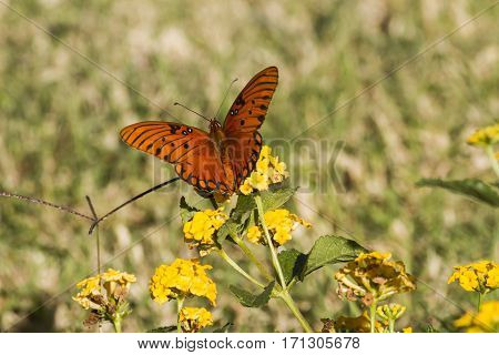 A gulf fritillary butterfly on a lantana flower