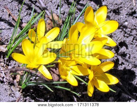 Yellow crocus flower in Humber Bay Park on a shore of the Lake Ontario in Toronto Canada March 30 2013