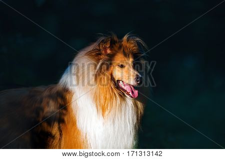 Beautiful portrait of a dog breed collie. Dog standing in a dark forest in the ray of the sun.