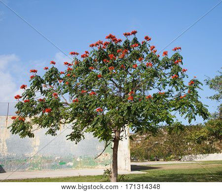 African tuliptree (Spathodea) with blooming red flowers