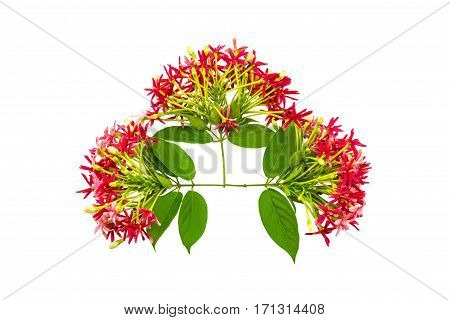 Colorful flower Drunen sailor Rangoon creeperQuisqualis Indica flower plant Chinese honeysuckle Rangoon Creeper Combretum indicum on white background.Saved with clipping path