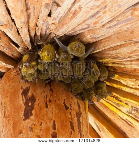 Group of Jamaican common or Mexican fruit bats (Artibeus jamaicensis) roosting in a hut