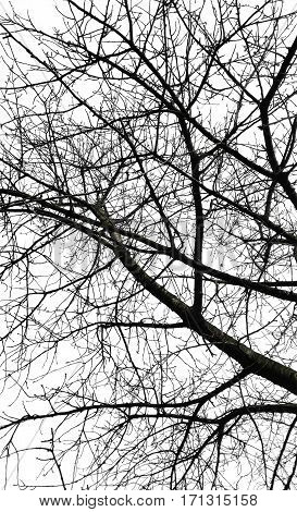 Bare tree branches isolated over white background.