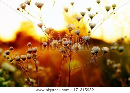Wild flowers in the field at sunset