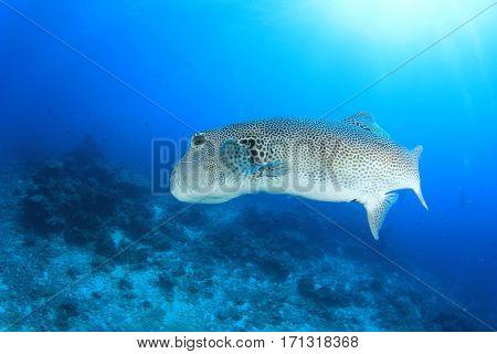 Giant Puffer fish pufferfish