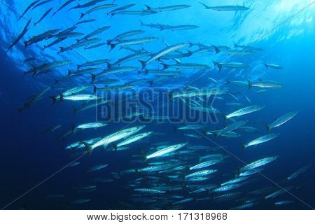 Barracuda fish in ocean