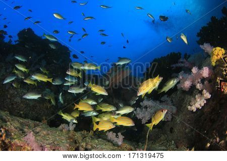 Snapper fish school. Coral reef underwater. Indian Ocean seascape