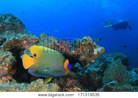 Yellow-mask Angelfish and Scuba diver