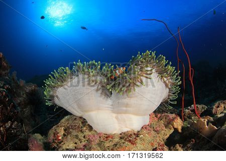 Clownfish and sea anemone. Tropical fish on underwater coral reef