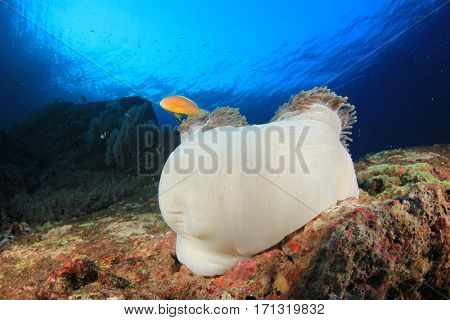 Clownfish (Skunk Anemonefish). Tropical fish on coral reef underwater